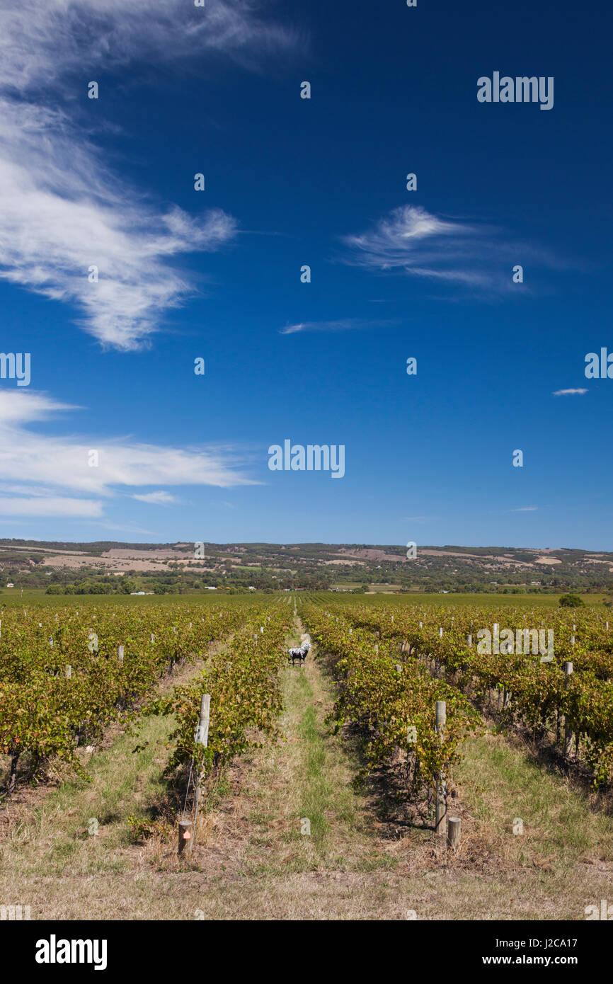 Australia, Fleurieu Peninsula, McLaren Vale Wine Region, McLaren Vale, Hugh Hamilton Winery, vineyard with sheep - Stock Image