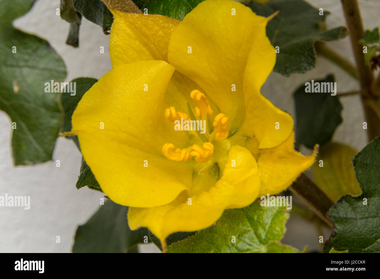 Fremontodendron California Glory growing and flowering up a white house wall in Devon.flower - Stock Image