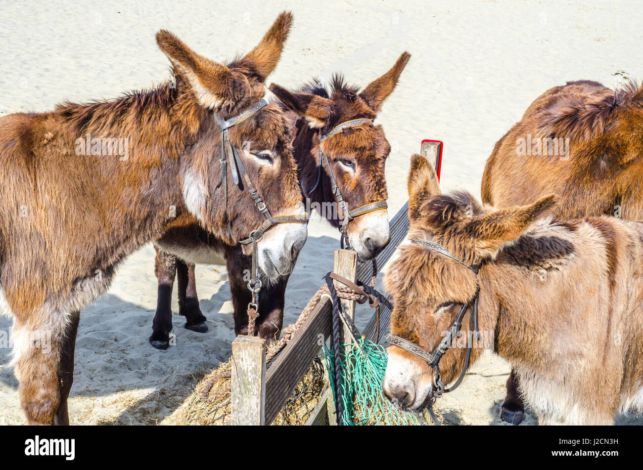 Four gorgeous domesticated es, es in a harness strapped to a ...