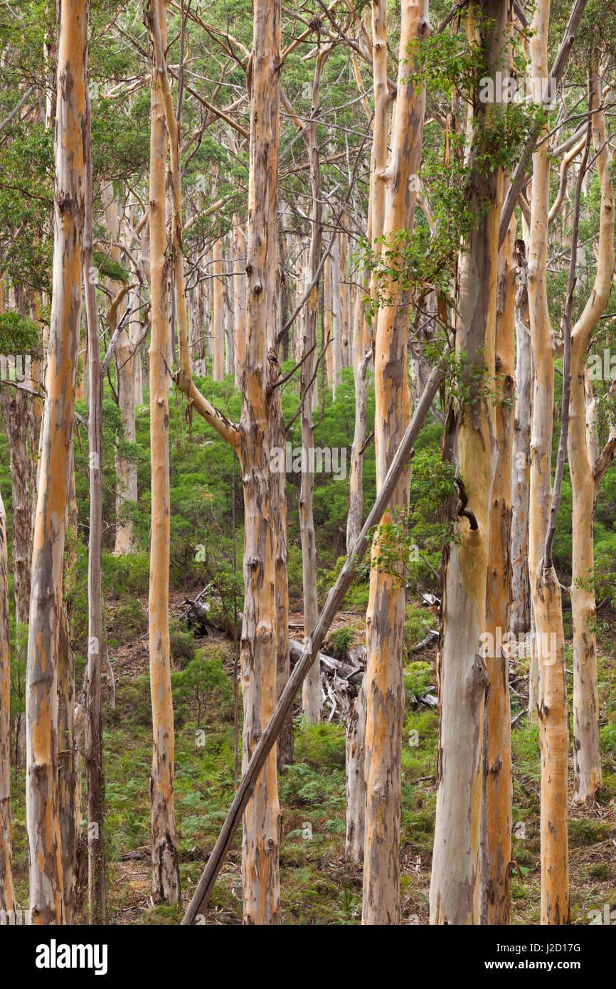 Southwest Australia, Karridale, Boranup Kari Forrest - Stock Image