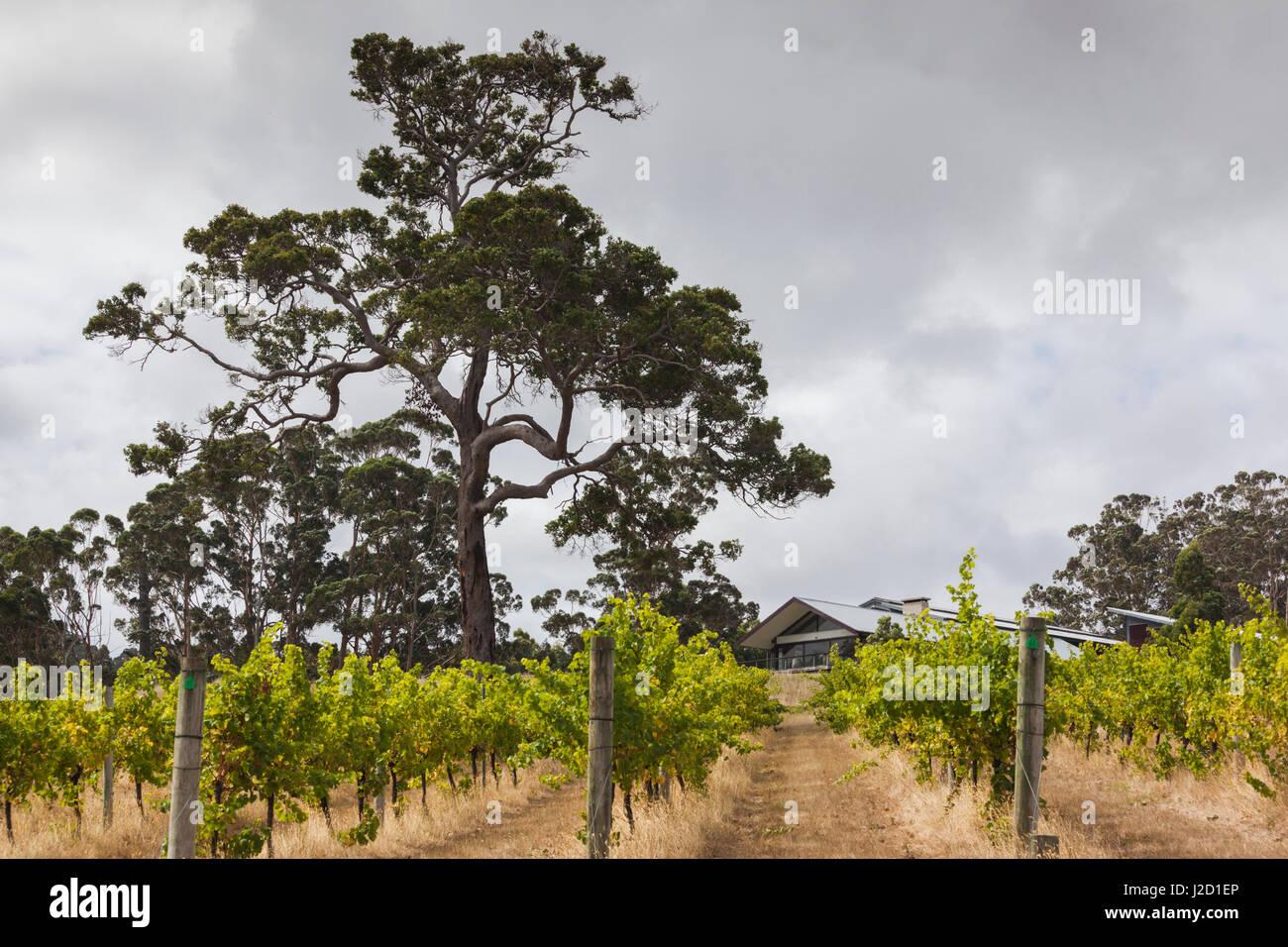 Southwest Australia, Denmark, Forrest Hill Winery vineyard - Stock Image