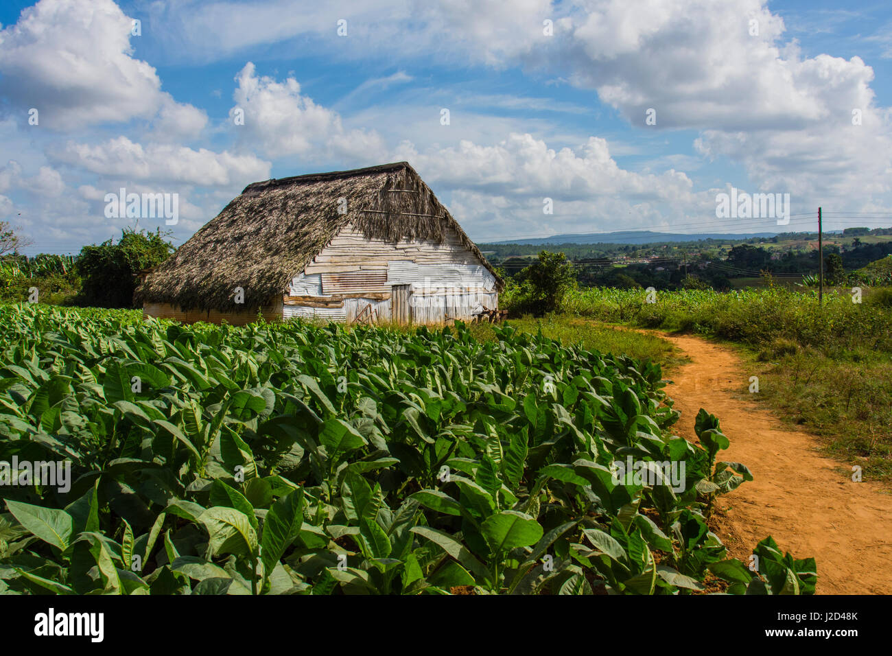 Cuba. Pinar del Rio. Vinales. Barn surrounded by tobacco fields. - Stock Image