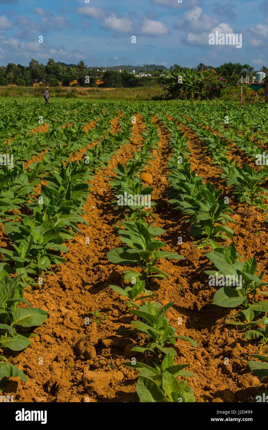 Cuba. Pinar del Rio. Vinales. Farmer walking through a field of tobacco. - Stock Image