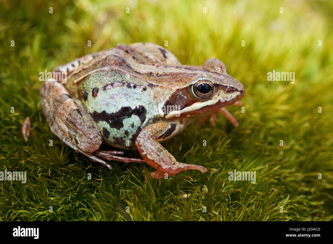 photo of a female moorfrog - Stock Image