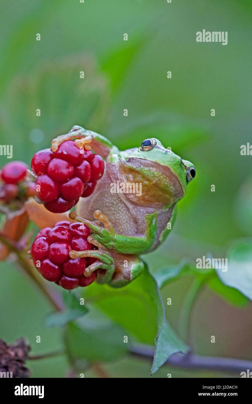 A Common tree frog on blackberries - Stock Image