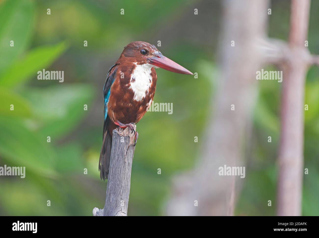 White throated kingfisher - Stock Image