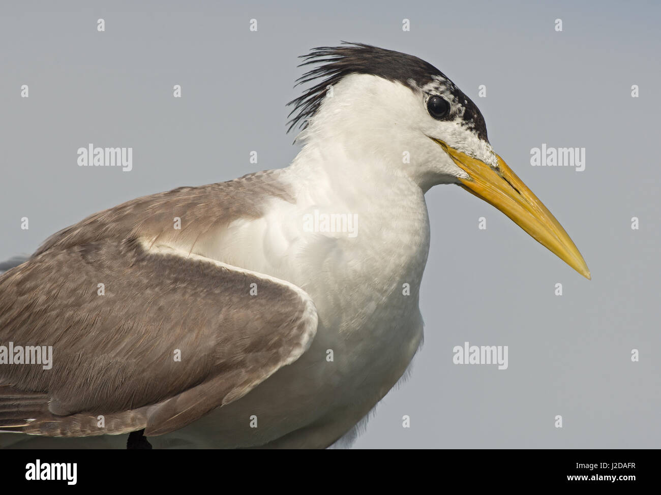 Great Crested Tern - Stock Image