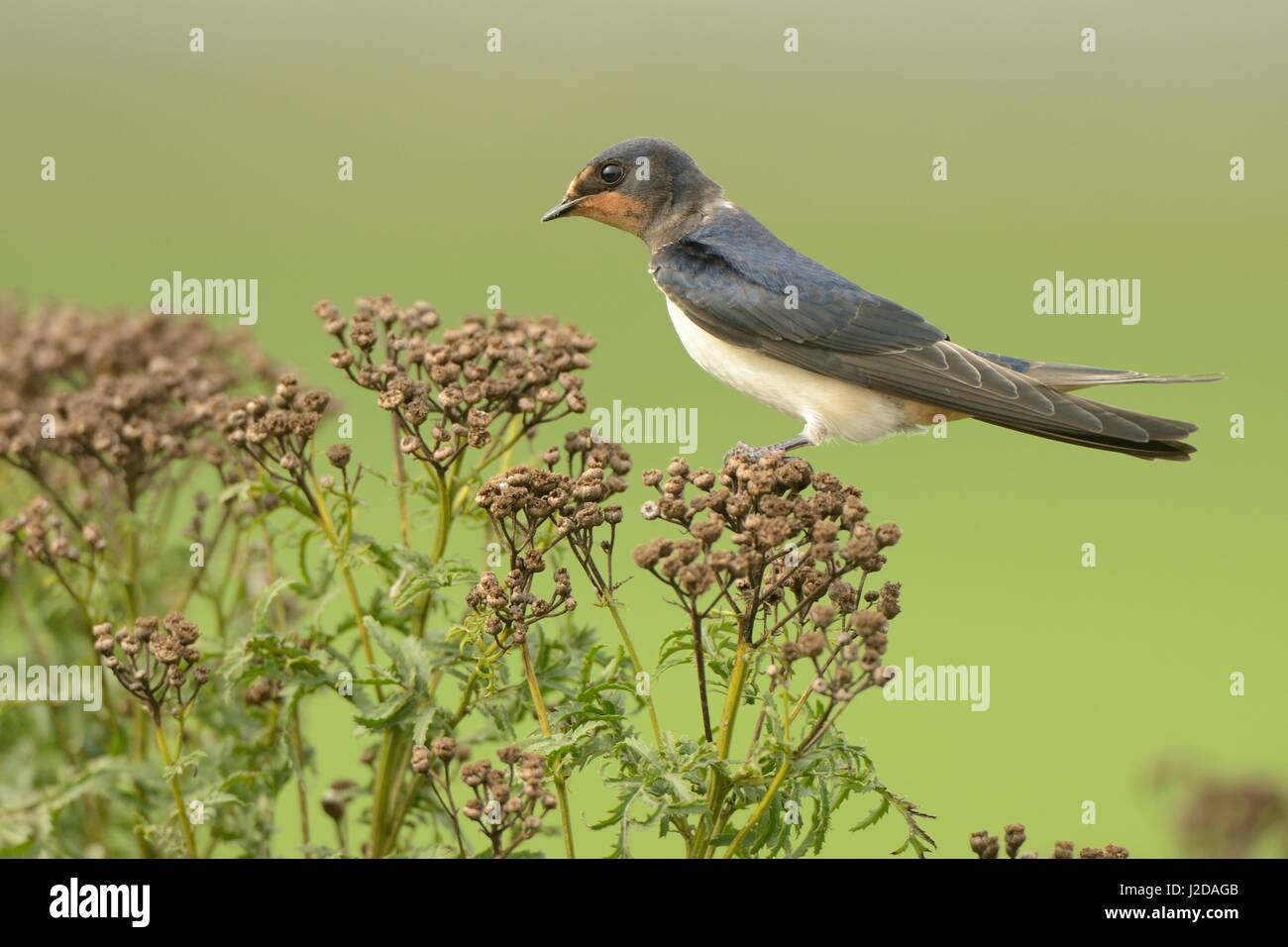 Juvenile Swallow perched on dawned Common Tansy - Stock Image