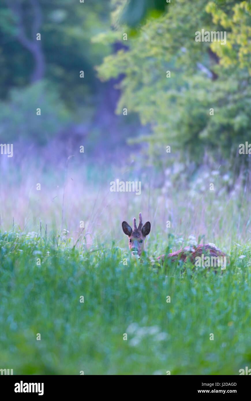 roe deer in grasland Stock Photo