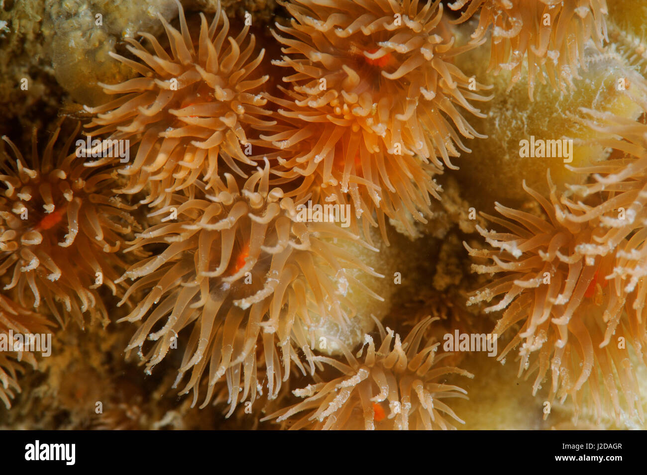 Brick anemones are small orange anemones that are usually in groups together - Stock Image