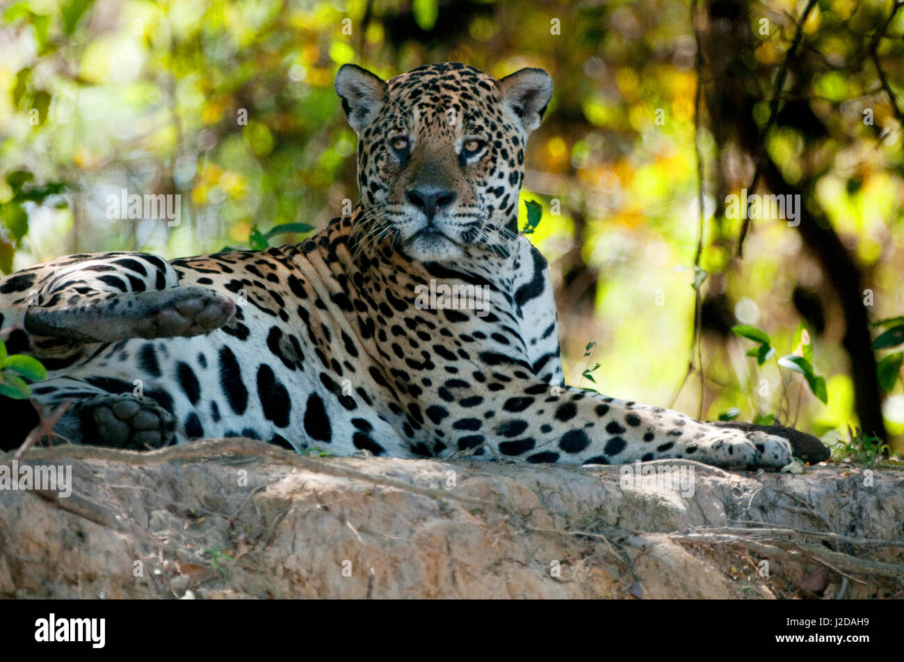 Jaguar on the bank of a small Neotropic river - Stock Image