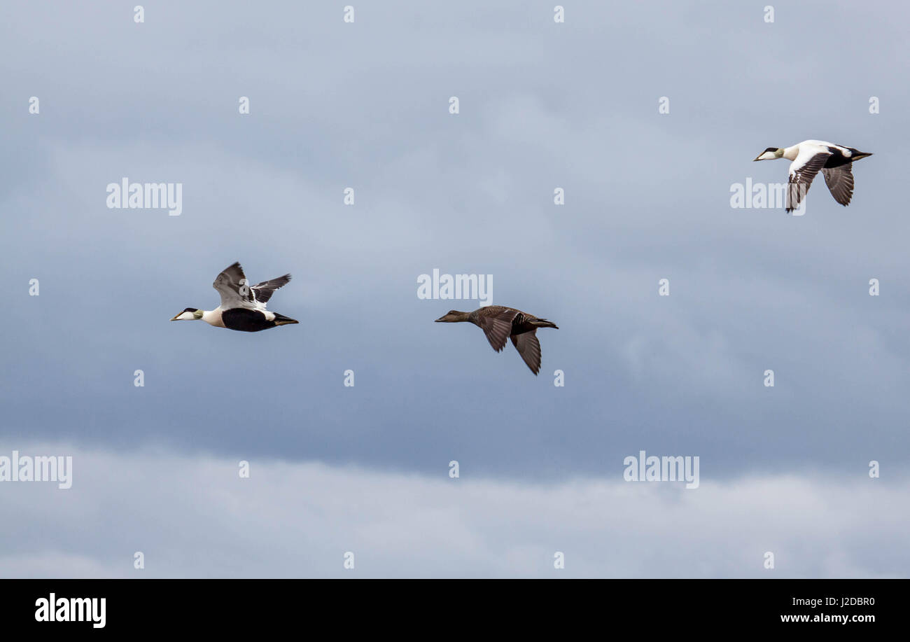Morecambe Bay, UK. 27th April 2017. Three eider ducks in flight across Morecambe Bay against a heavy sky as the - Stock Image