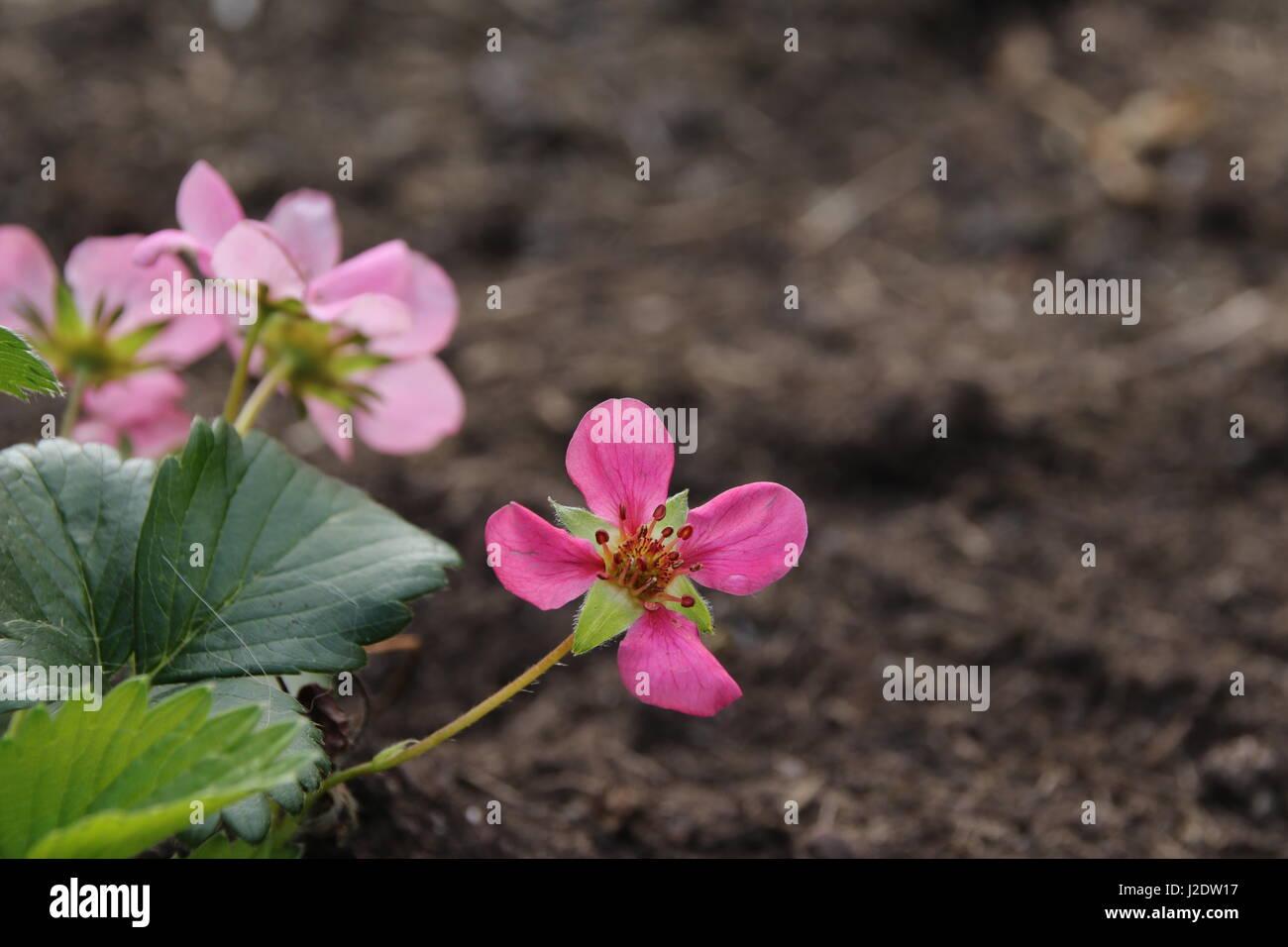Erdbeerblüte - Stock Image