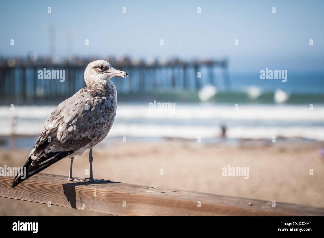 Seagull_0366   - Stock Image