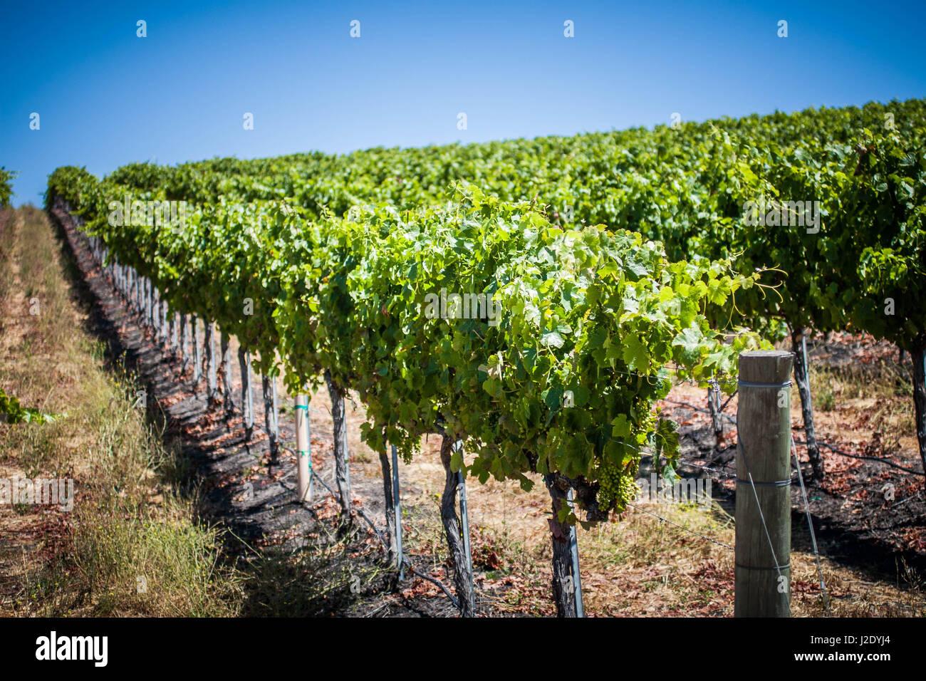 Vineyard5694   - Stock Image