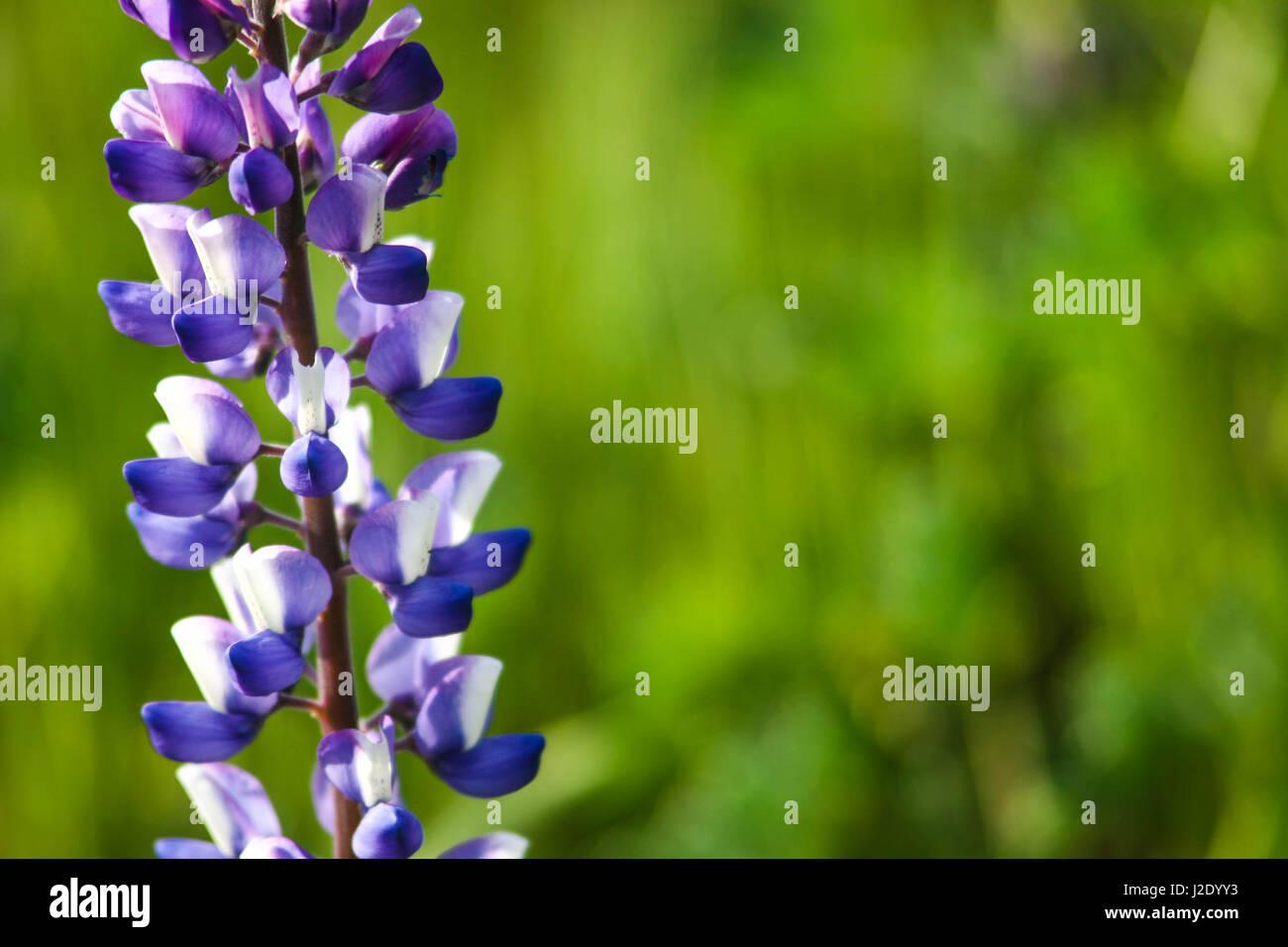Lilac64174214   - Stock Image