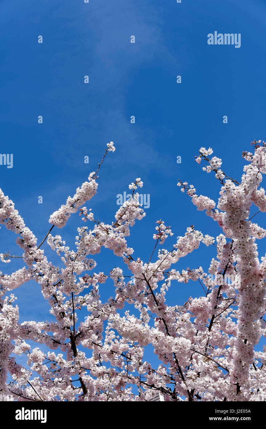 Pink cherry blossoms in full bloom reaching into a  blue sky, Vancouver, British Columbia, Canada - Stock Image