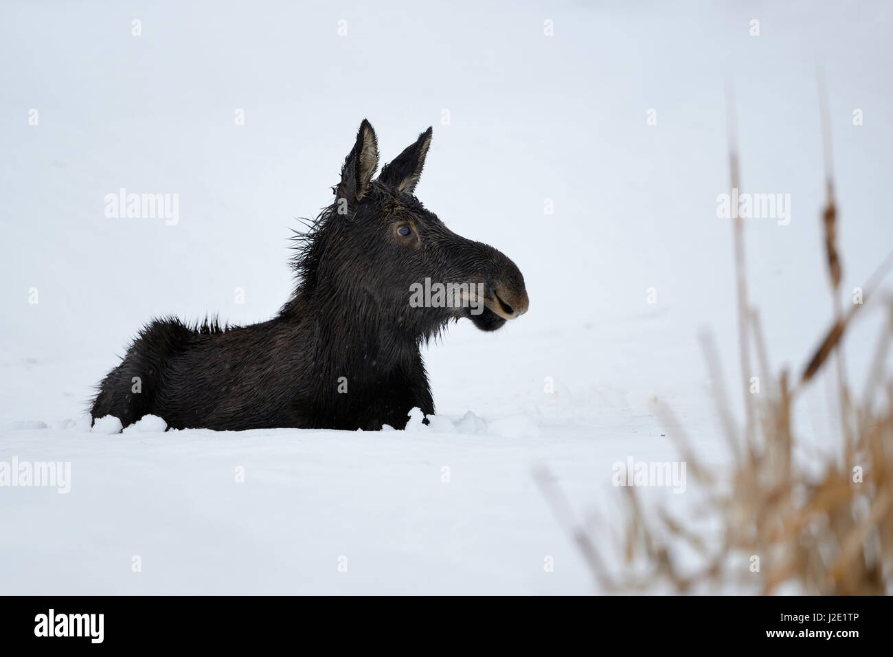 Moose / Elch ( Alces alces ) in its first winter, young calf, resting, lying, ruminating in snow, looks cute and Stock Photo