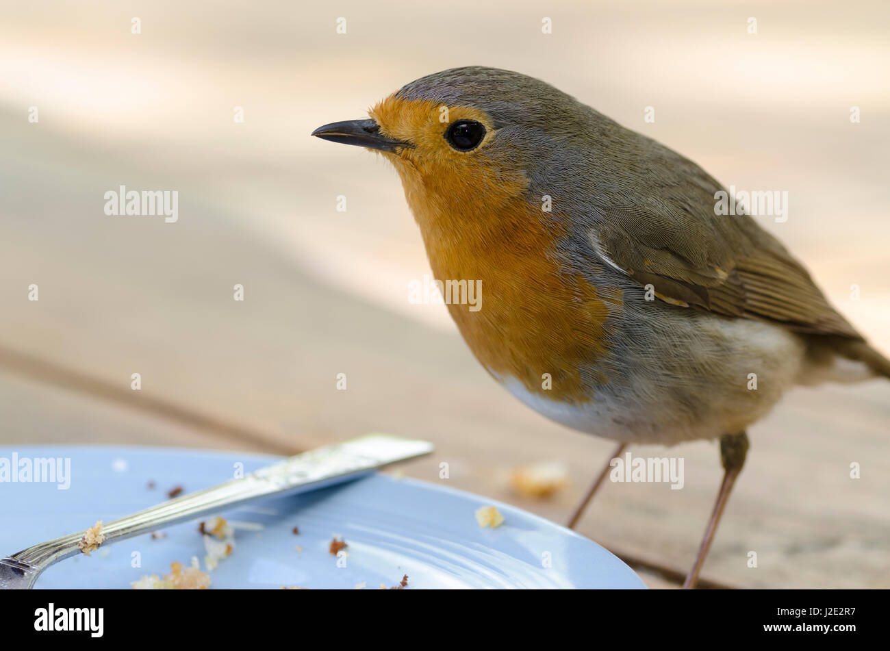 Robin erithacus rubecula scavenging crumbs from a plate Stock Photo