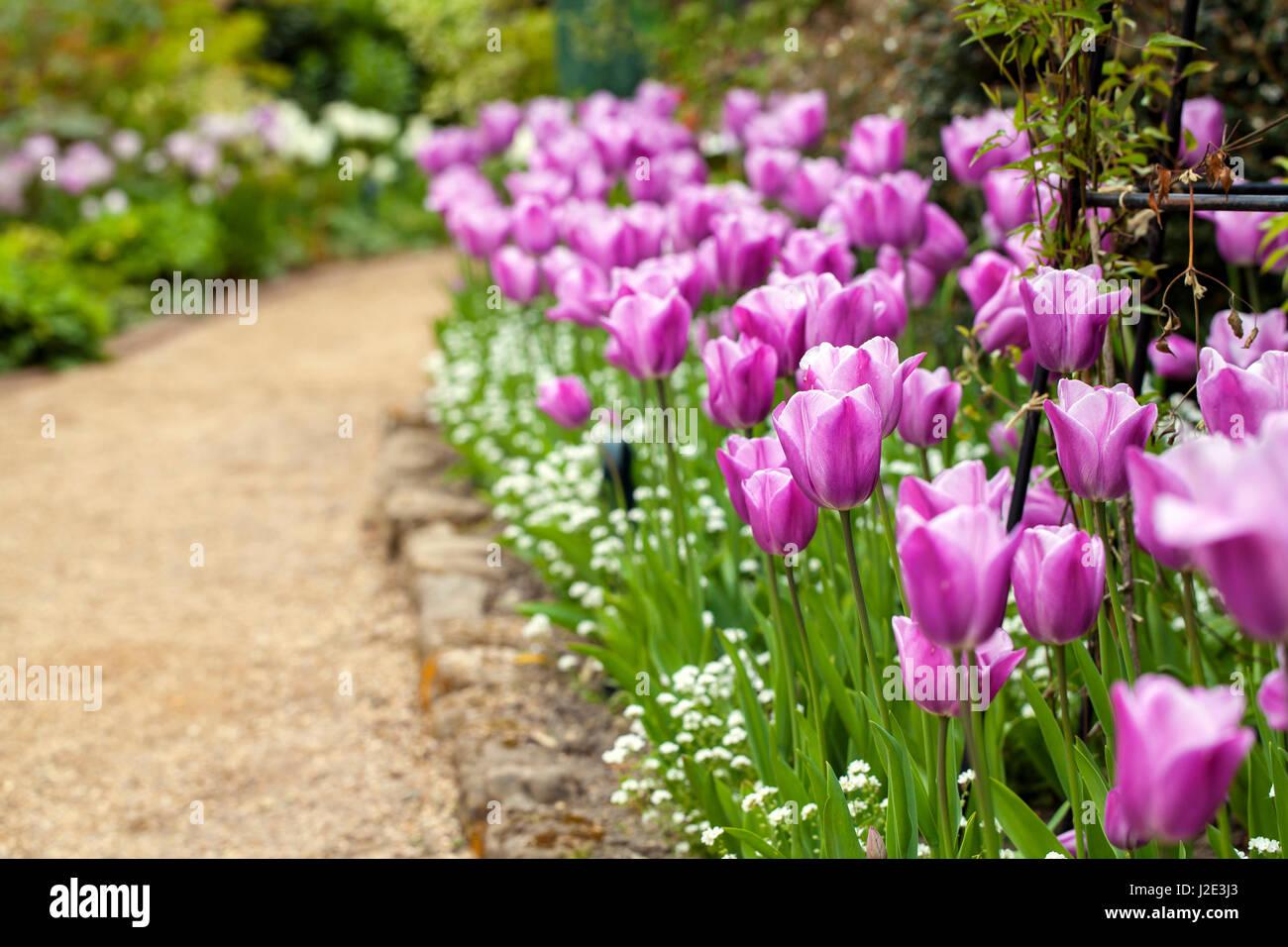 Tulip festival in Pashley Manor, Sussex - Stock Image