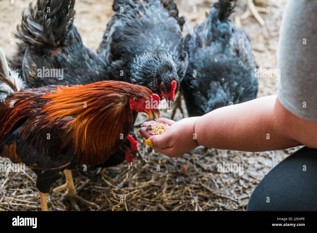 A colorful rooster thrives at Piedmont Farm Animal Rescue - Stock Image