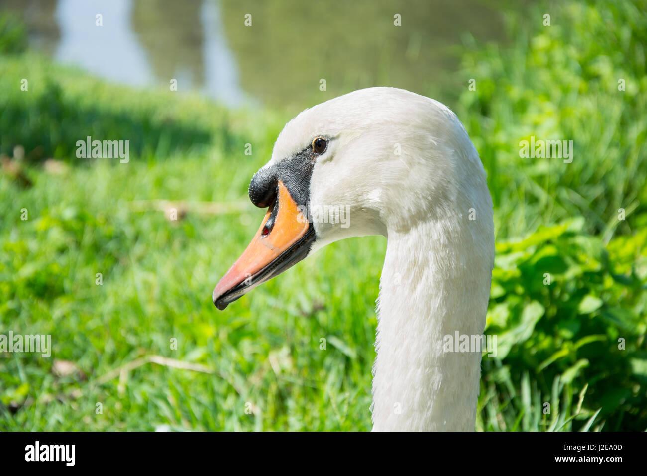 White goose portrait, domestic bird, farm poultry - Stock Image
