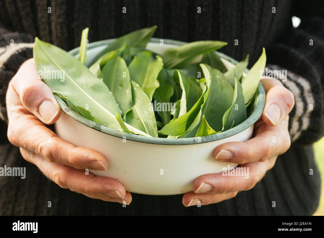 Freshly harvested wild garlic leaves in a bowl Stock Photo