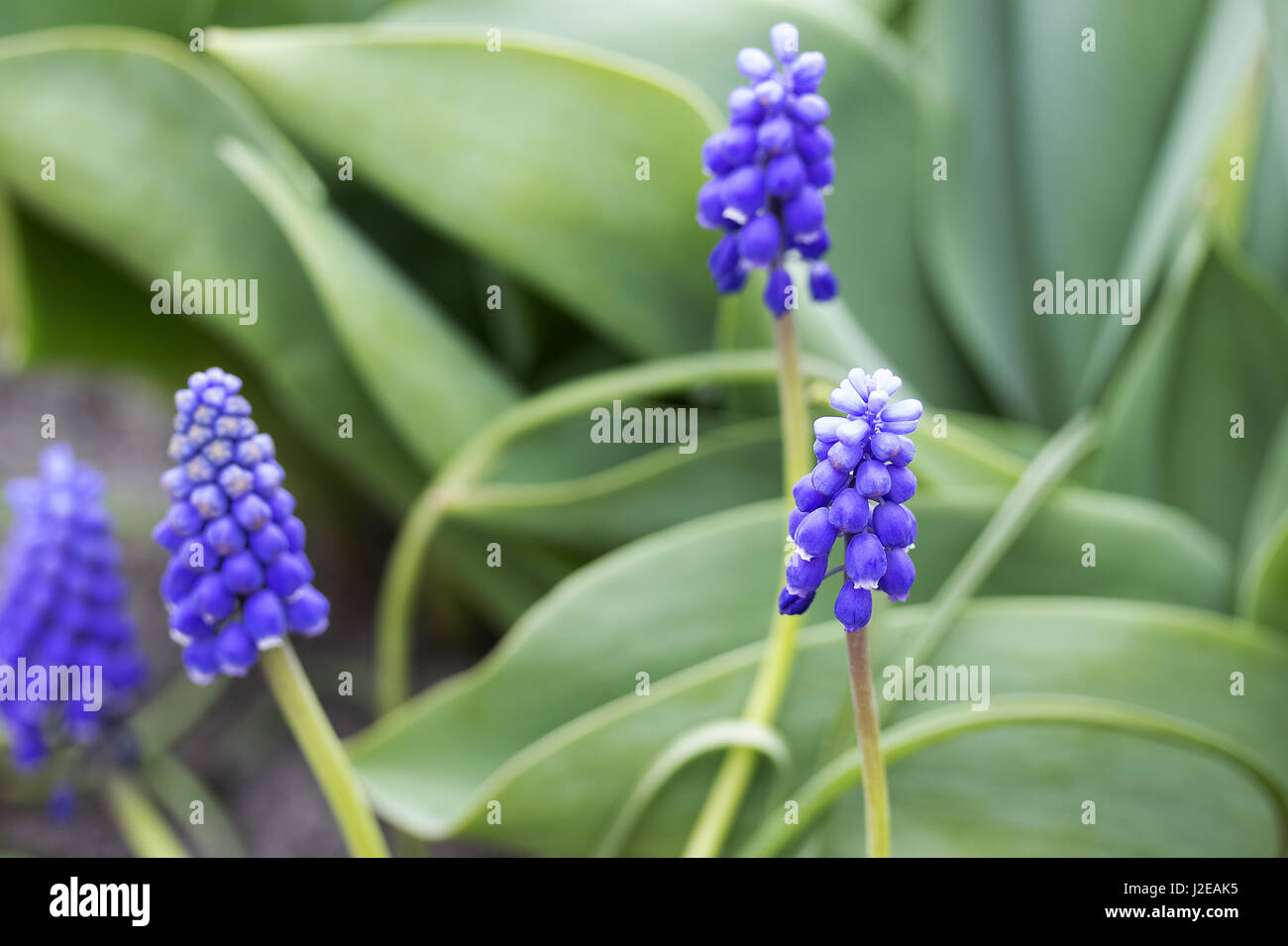 Blue spring flower. Grape hyacinth in the forest - Stock Image