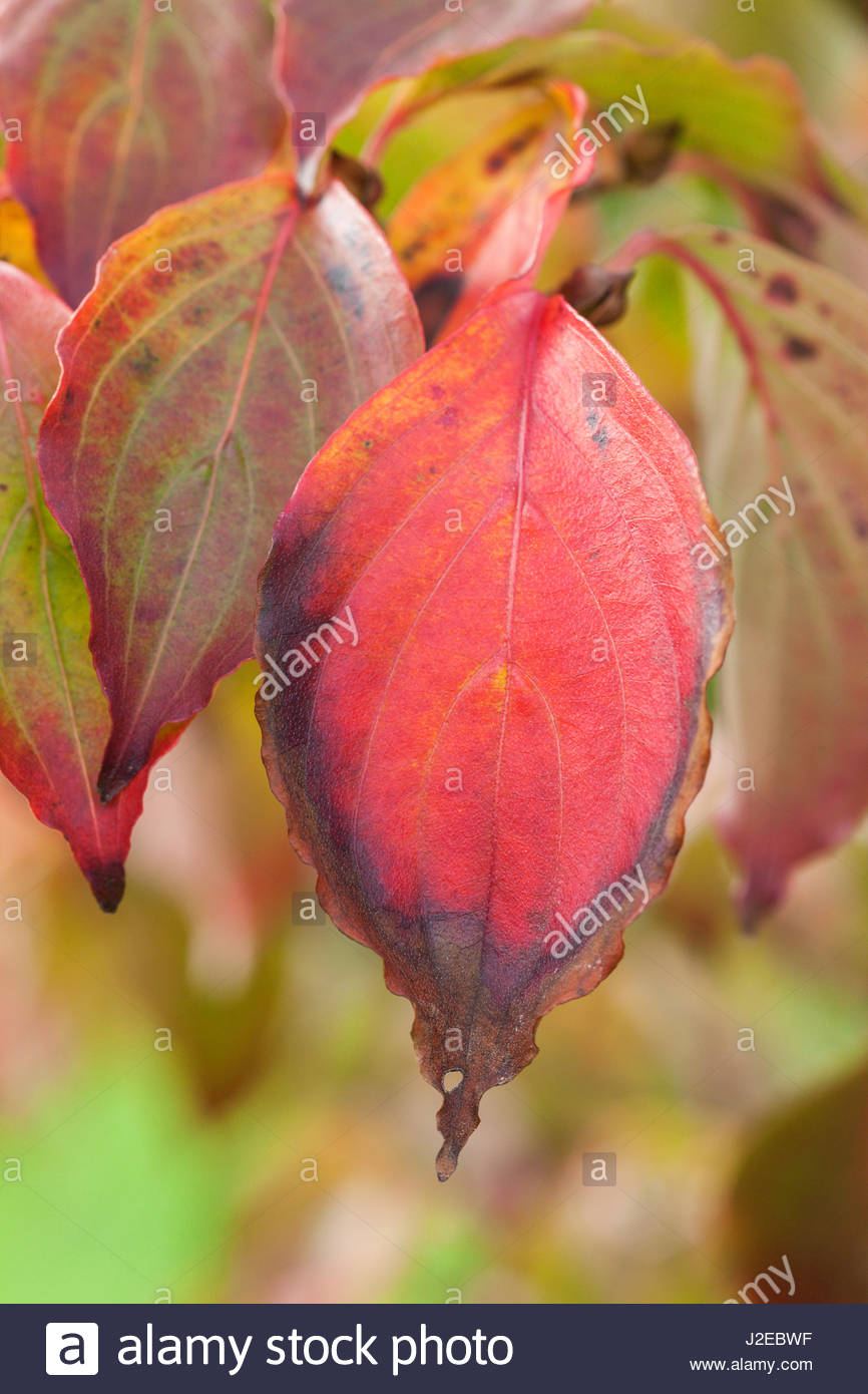 Cornus kousa var. chinensis 'Wieting's Select' foliage in autumn - Stock Image
