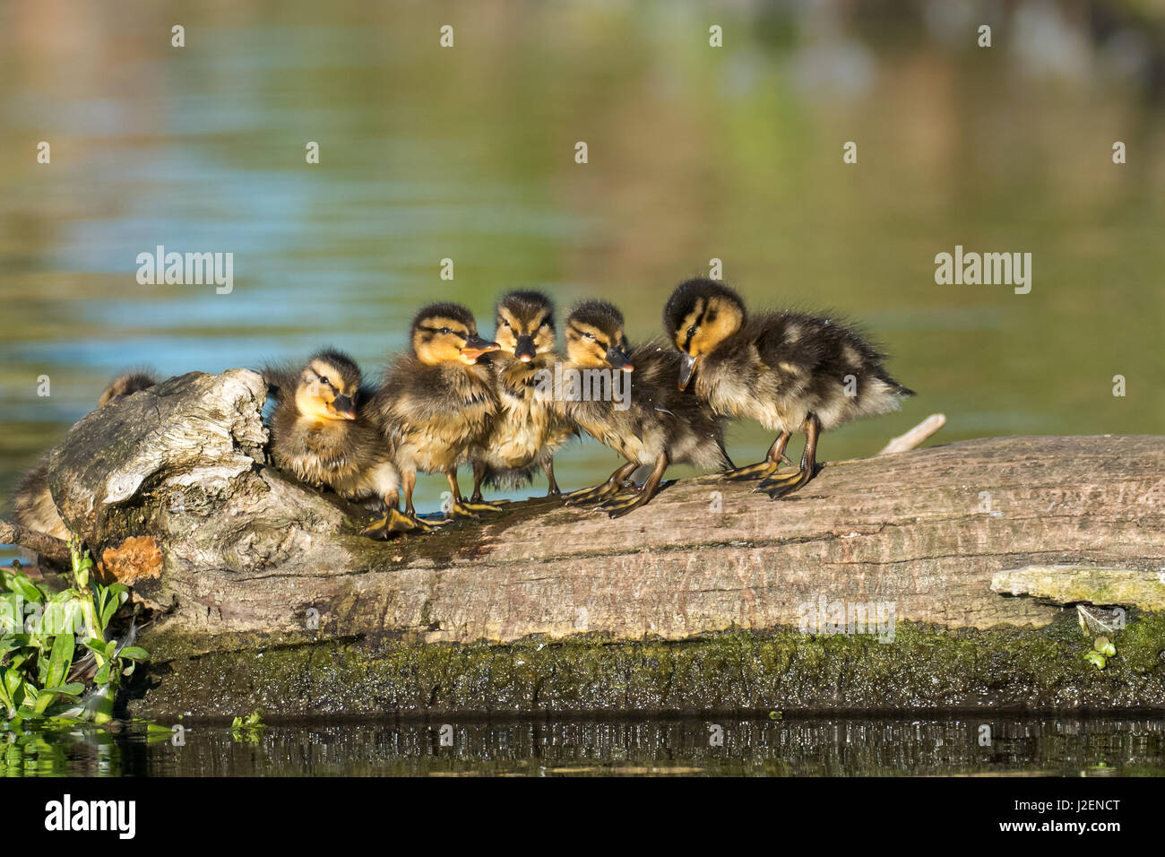 Ducklings In A Line Stock Photos & Ducklings In A Line Stock Images ...