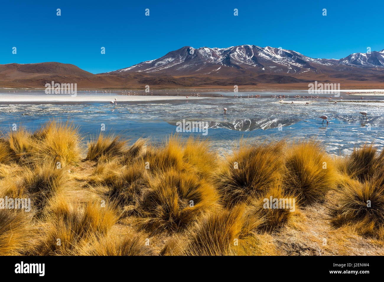 Andes grass and a high altitude lake with andes and Chilean flamingos in the Andes mountain range of Bolivia in - Stock Image