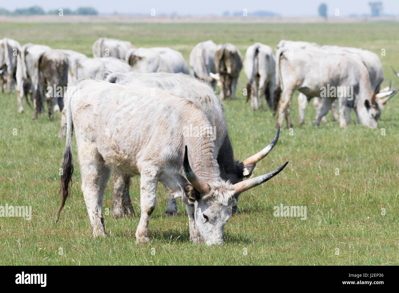 Hungarian Grey Cattle (bos primigenus hungaricus), old and hardy rare cattle breed grazing in the Puszta of the Stock Photo