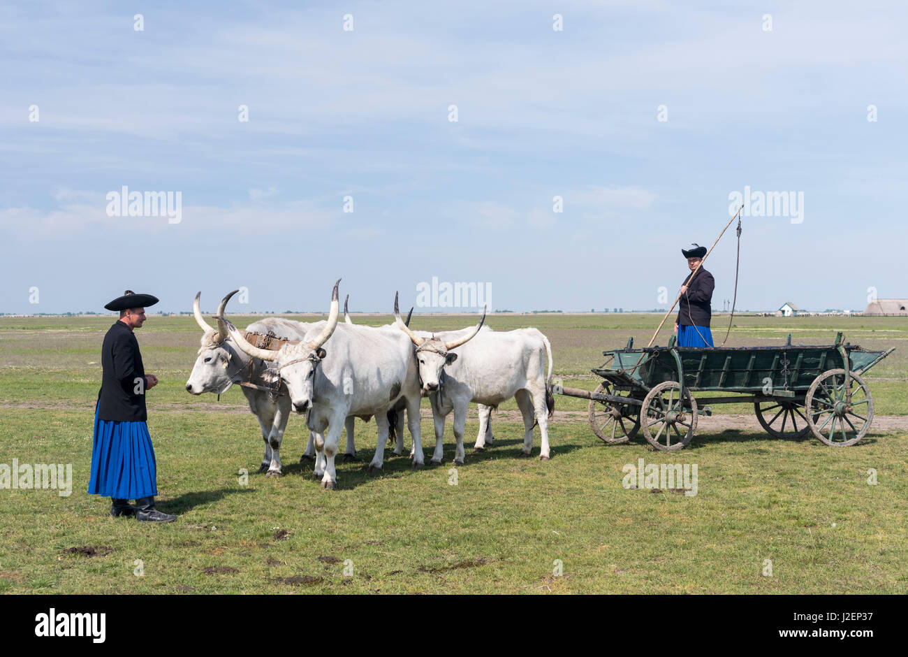 Hungarian Grey Cattle (bos primigenus hungaricus), old and hardy rare cattle breed, Hungary (Large format sizes Stock Photo