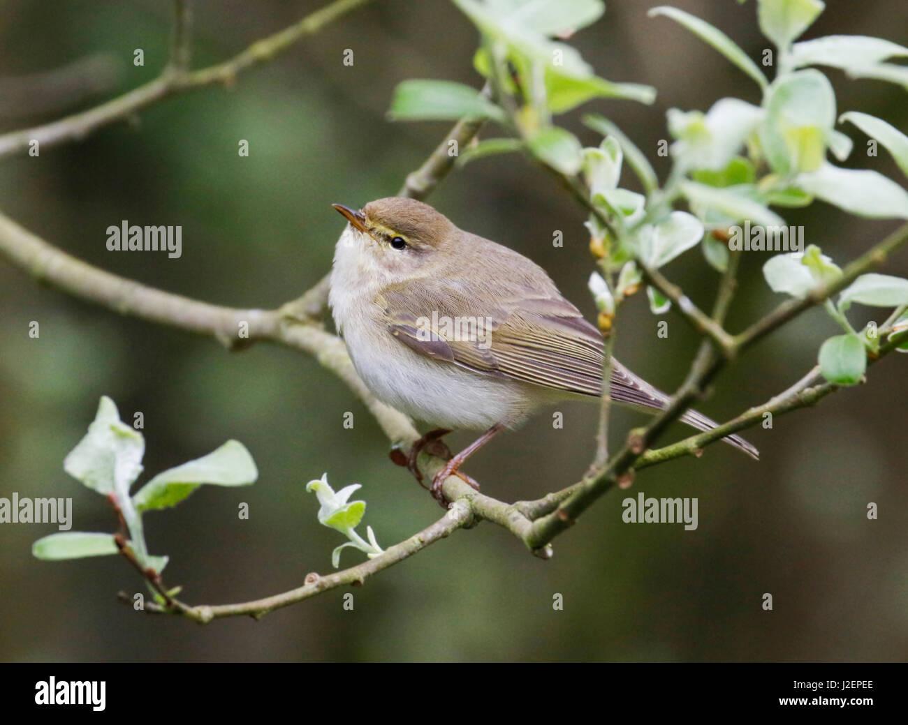 Willow Warbler ( Phylloscopus trochilus) Stock Photo