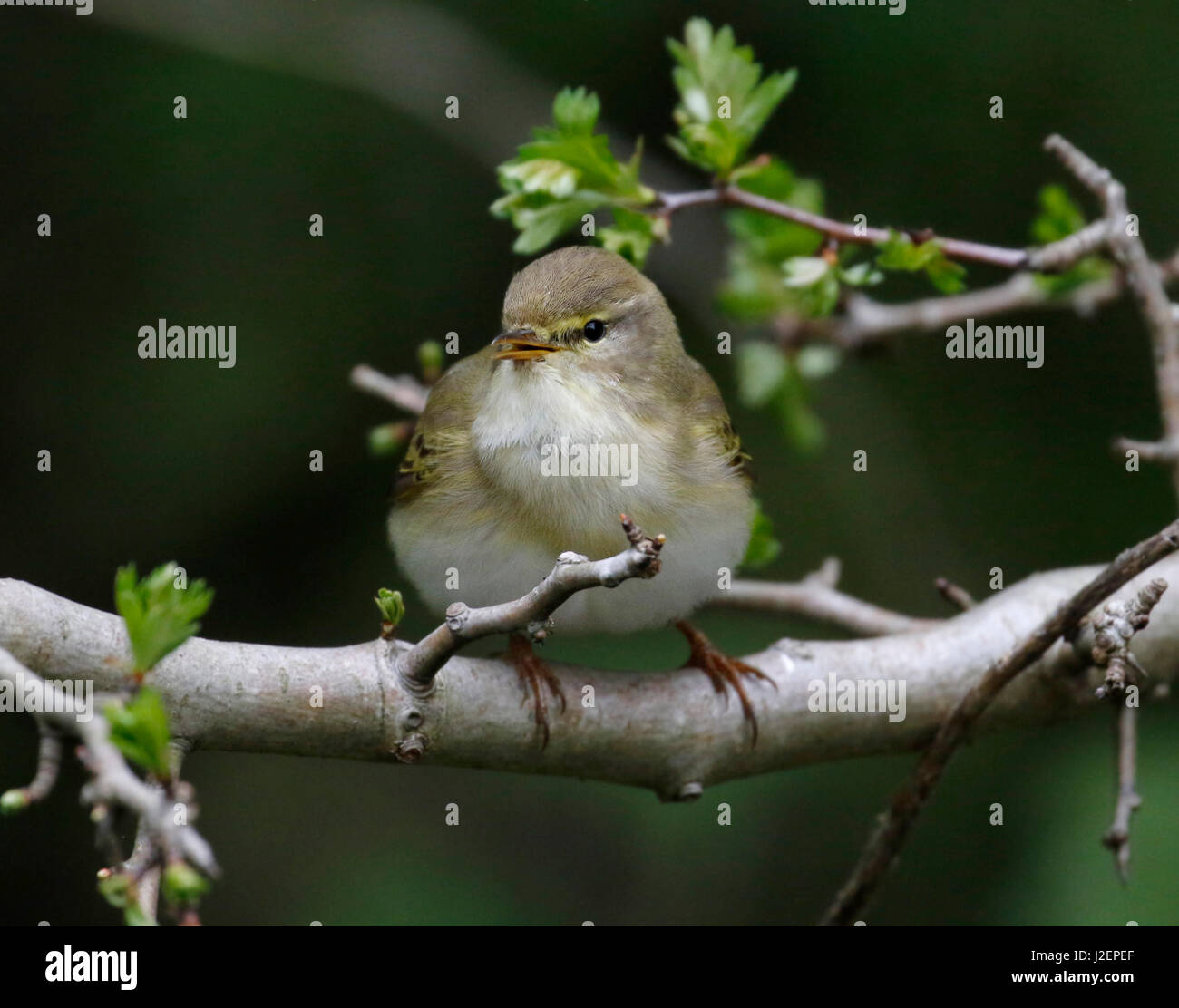 Willow Warbler ( Phylloscopus trochilus) Stock Photo