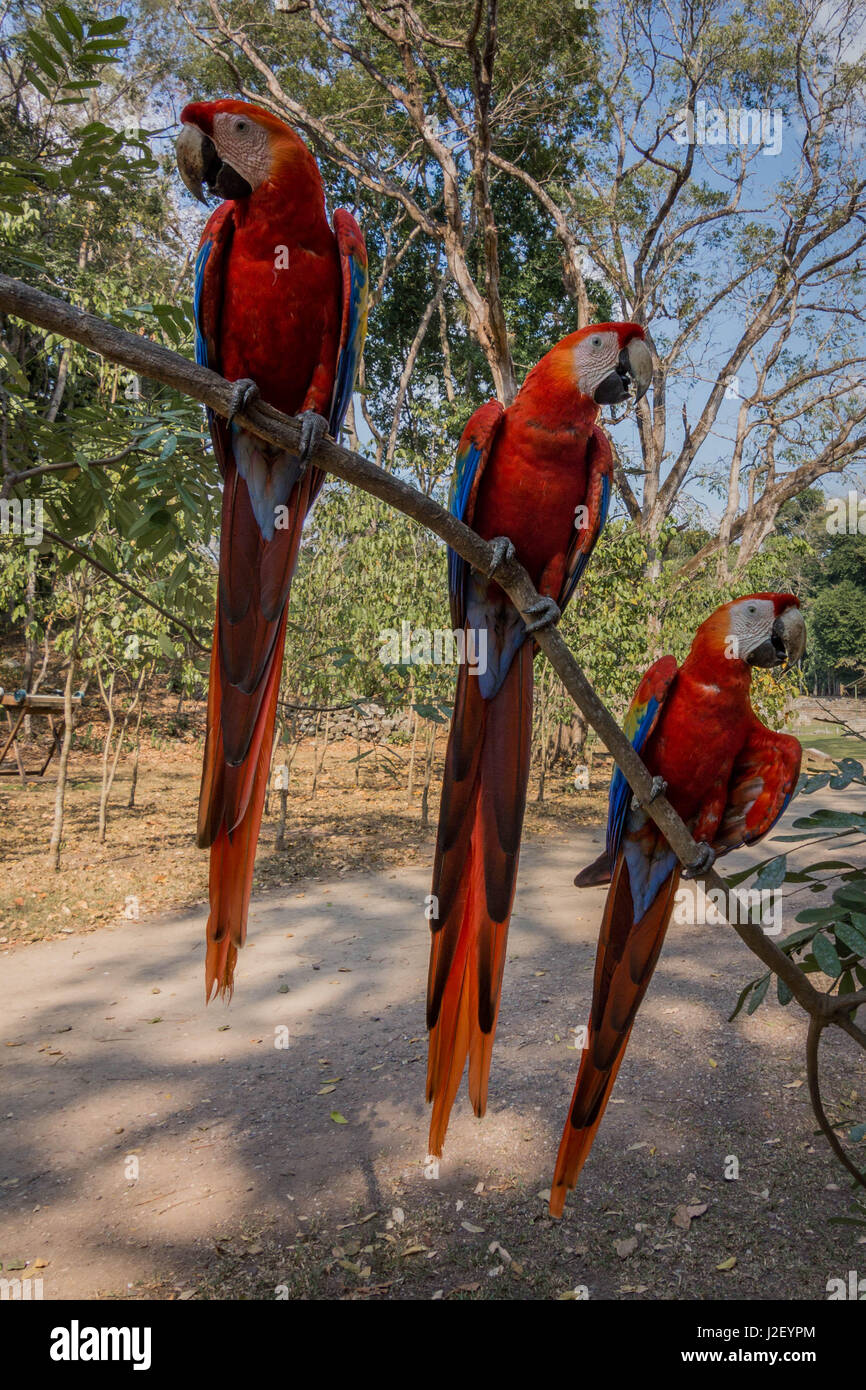 The scarlet macaw is the national bird of Honduras, and can be seen throughout South America. There are plenty of - Stock Image