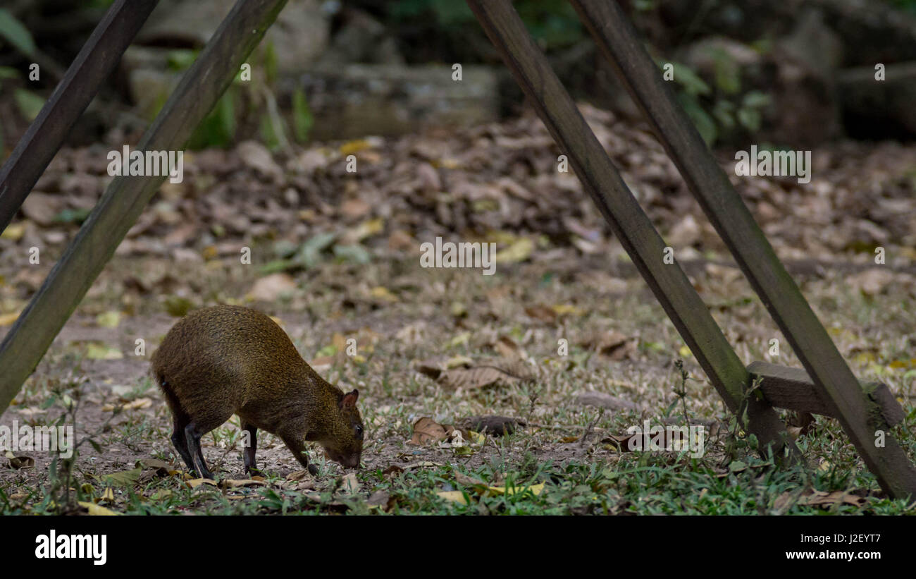 Central American Agouti in Copán Ruinas, foraging on the seeds dropped underneath a macaw feeder - Stock Image