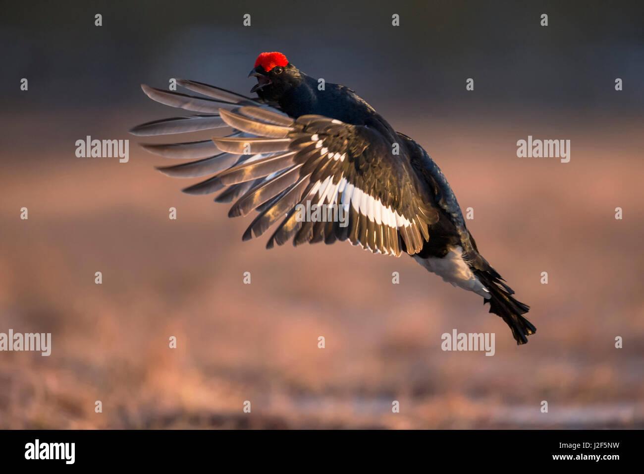 Flying Black Grouse (Lyrurus tetrix) in winter landscape - Stock Image