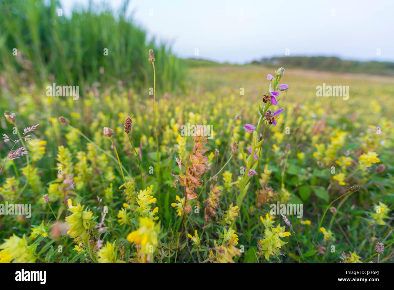 Bee Orchid in wet dune slack - Stock Image