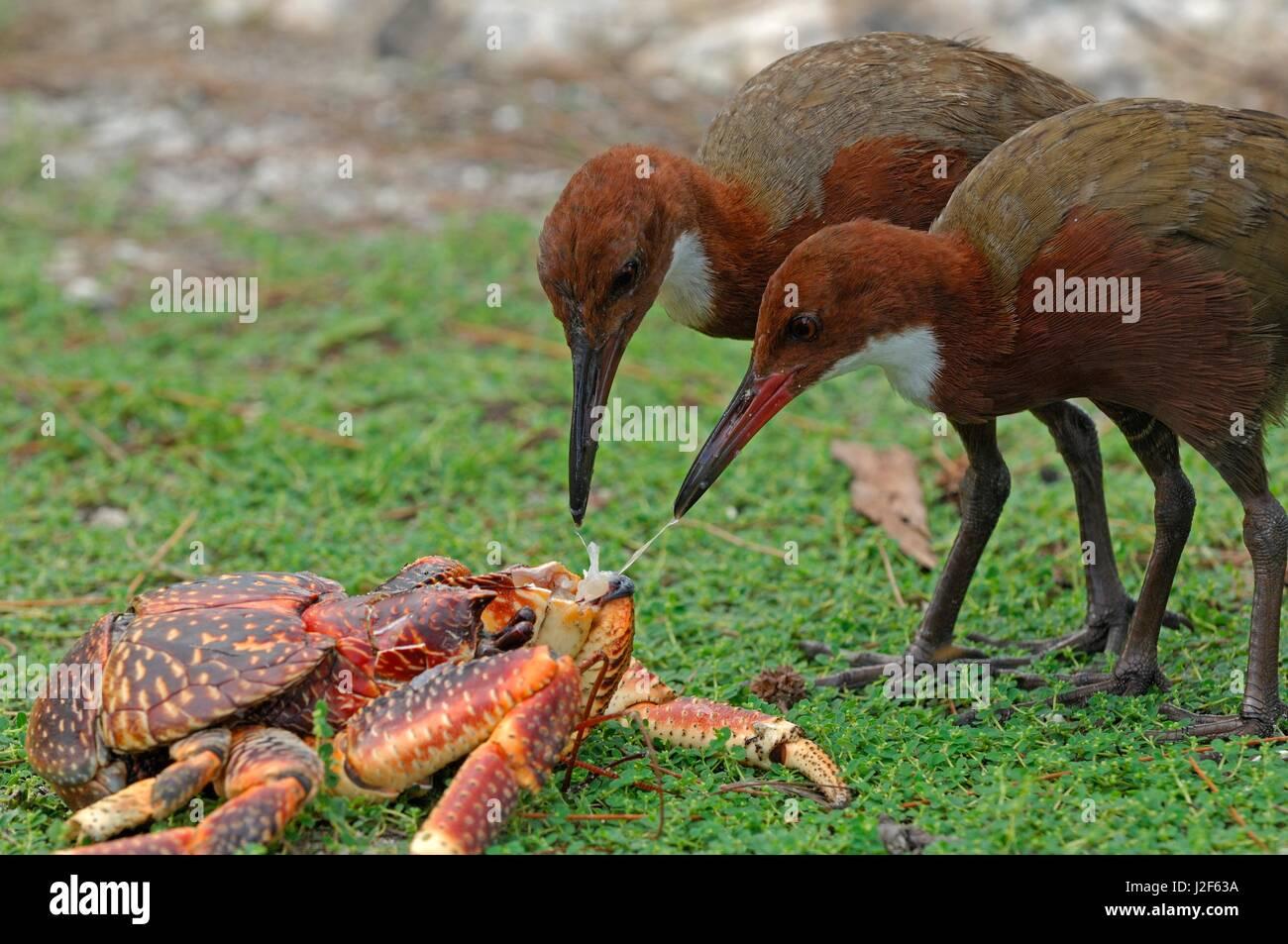Aldabra White-throated Rail (Dryolimnas cuvieri aldabranus) foraging on freshly killed crab - Stock Image