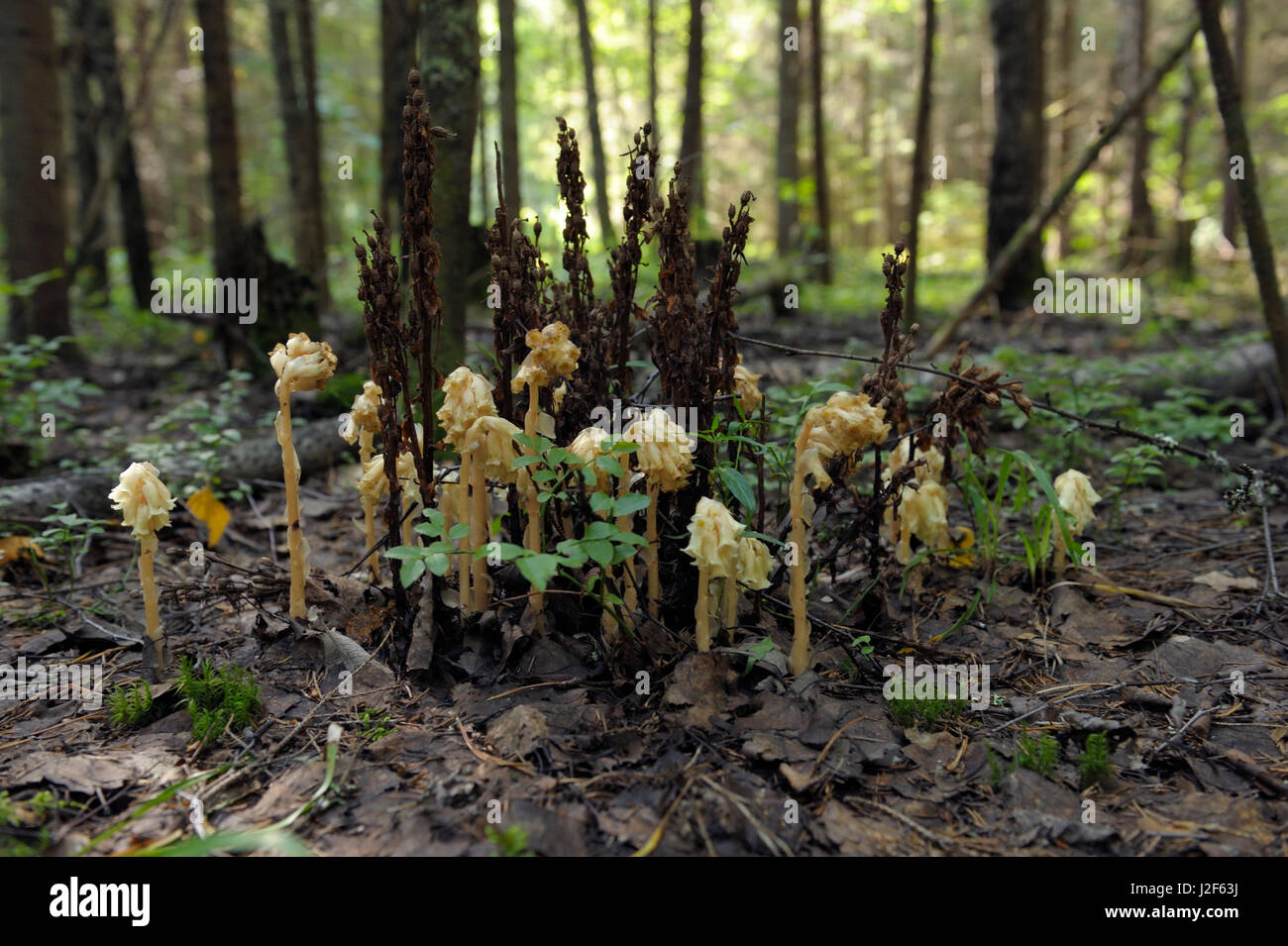 Dutchman's pipes in the forest near Manturovo, Russia Stock Photo
