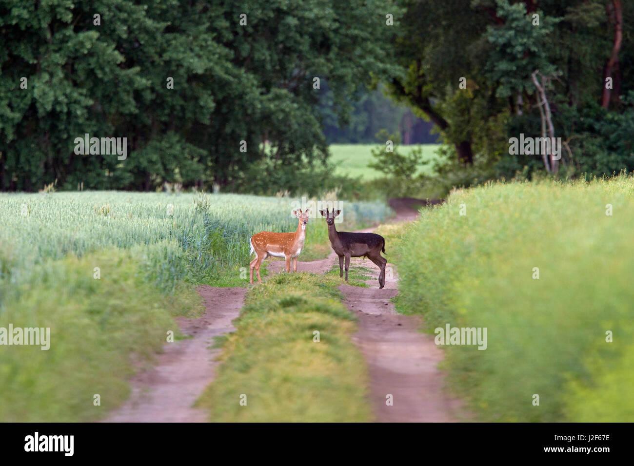 light and dark coloured fallow deer (Dama dama) Stock Photo
