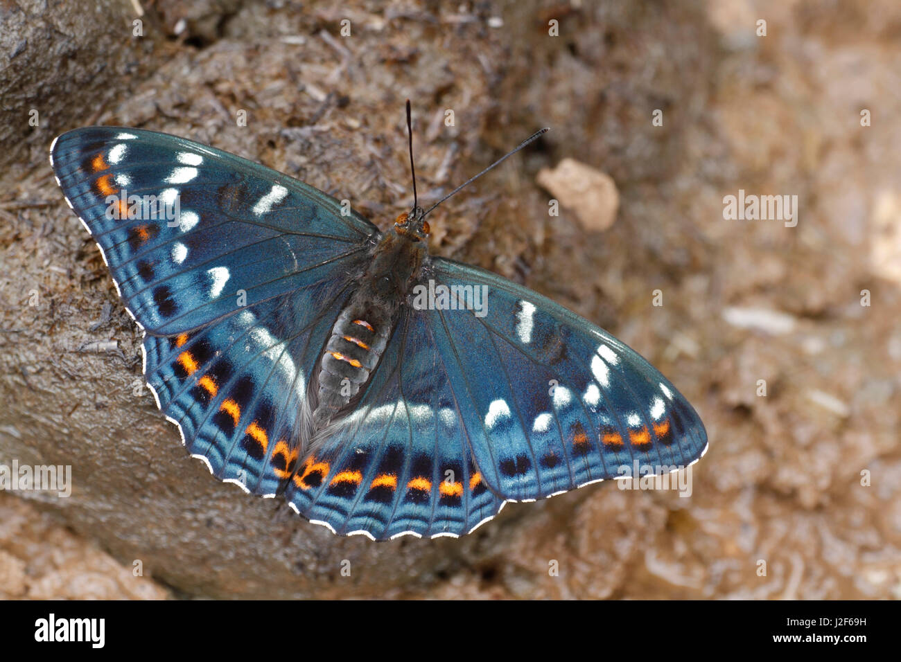 Poplar Admiral (Limenitis populi) with open wings - Stock Image