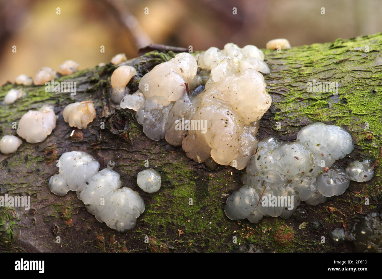 White Brain on a branch - Stock Image
