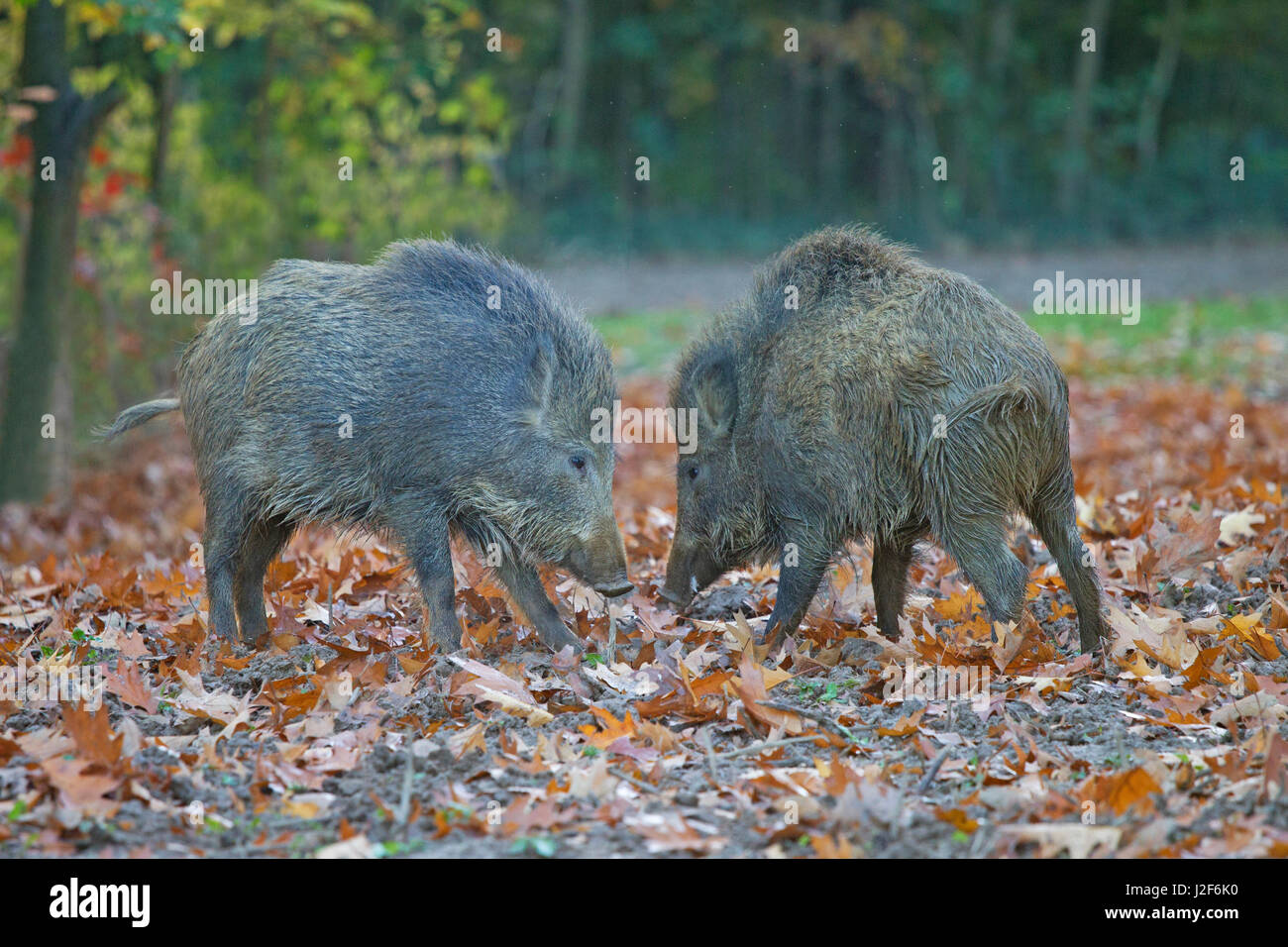 photo of two fighting wild boars - Stock Image