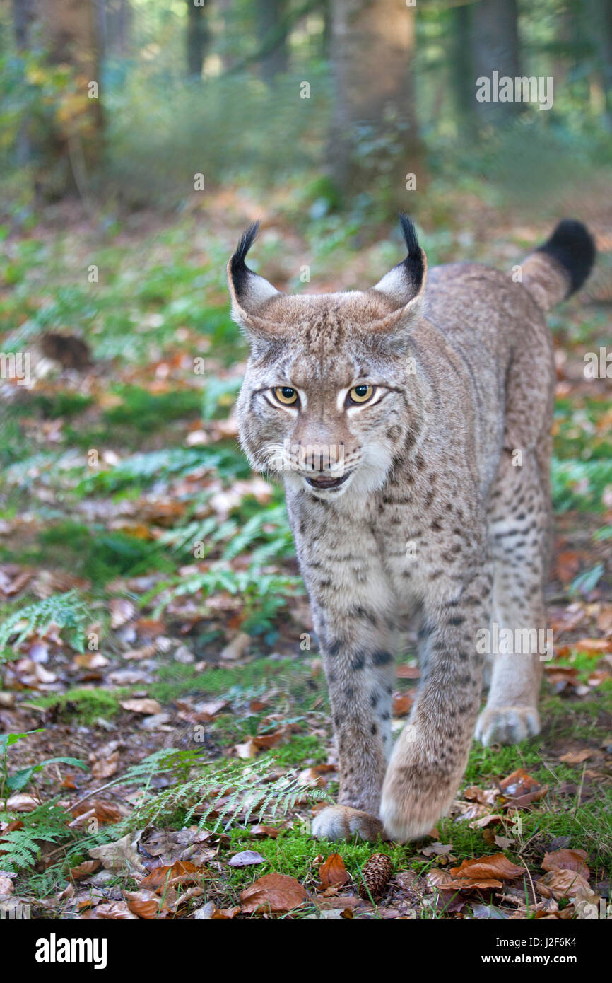 frontal photo of an Eurasian lynx - Stock Image