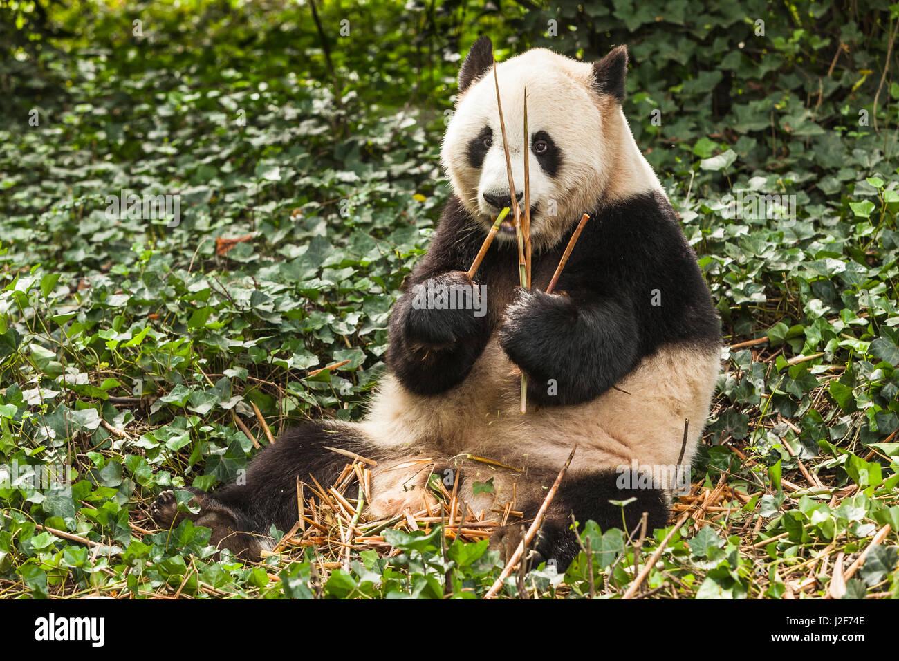 Giant Panda eating bamboo - Stock Image