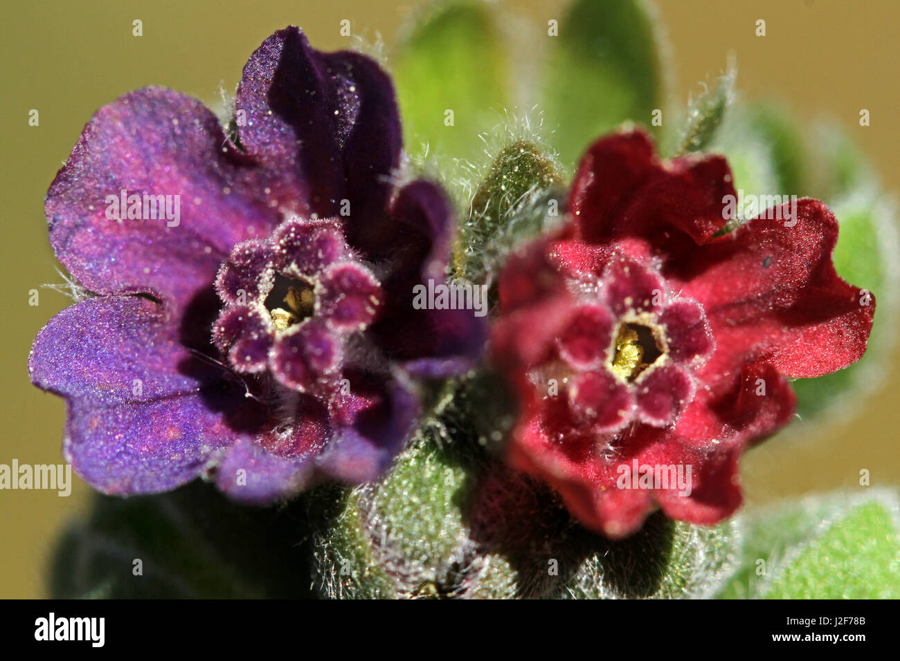 close up of two flowers of the Hound's-tongue - Stock Image