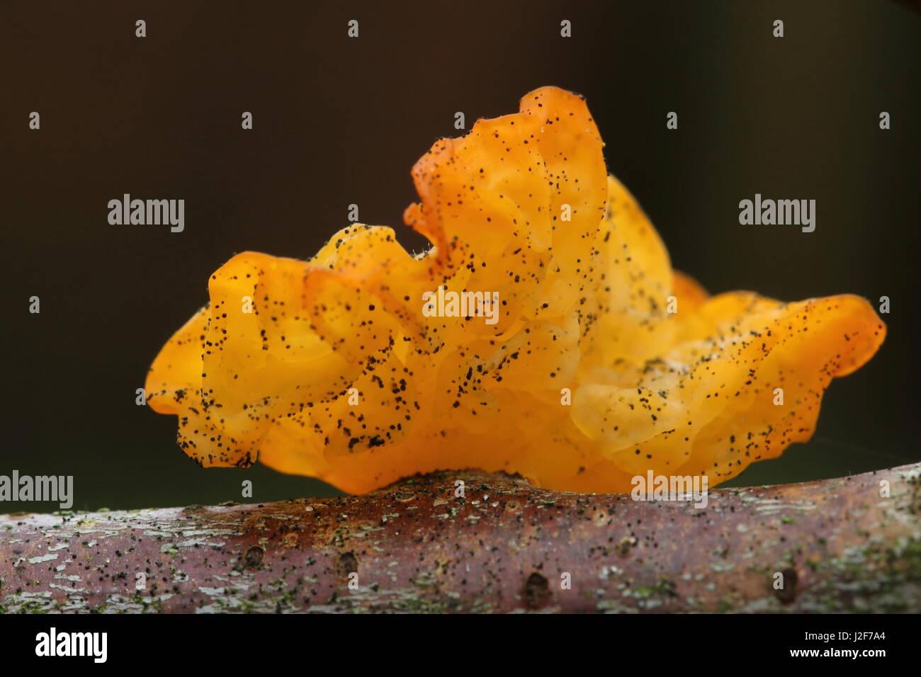 Golden jelly (tremella mesenterica) - Stock Image