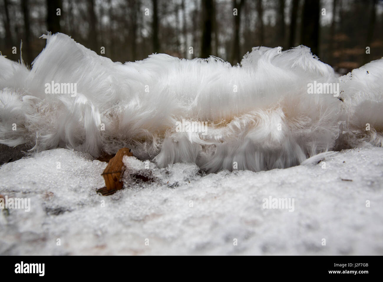 frost beard or hair ice in combination with snow - Stock Image